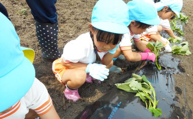 苗を植える